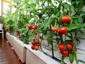 Томаты на балконе выращивание пошагово