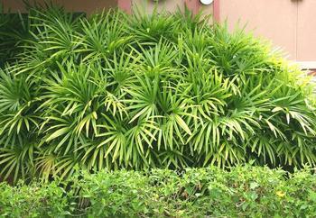 Рапис (комнатная пальма): уход в домашних условиях