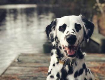 Очаровательный далматин Чарли с глазами-сердечками