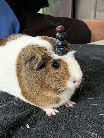18 доказательств, что морские свинки – это не только целый килограмм позитива