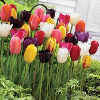 15 основных видов тюльпанов - все ли есть у вас