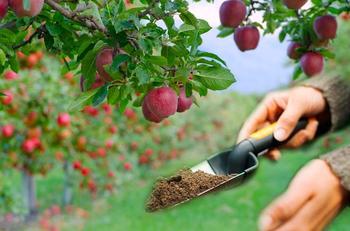 Чем и как подкормить яблоню перед зимой