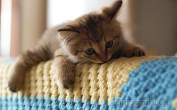 Породы самых больших домашних котов