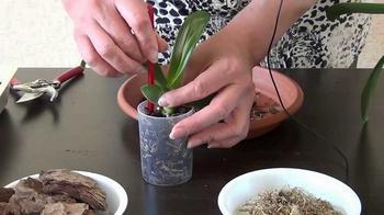 Как отсаживать деток орхидеи в домашних условиях