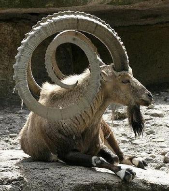 Животные с причудливыми рогами, которые завораживают свей красотой и величием