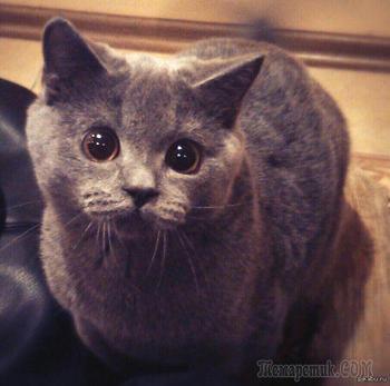 """Кошки, которые """"строят глазки"""" своим хозяевам"""