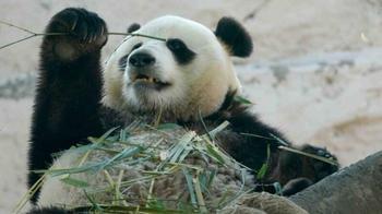 Панды в Московском зоопарке получили подарки на день рождения