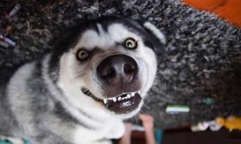 Доказательств того, что хаски - лучшая порода собак!