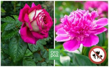 Какие цветы нельзя сажать рядом – 10 самых неудачных сочетаний