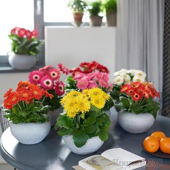 Герберы: как вырастить тропический цветок у себя в домашних условиях