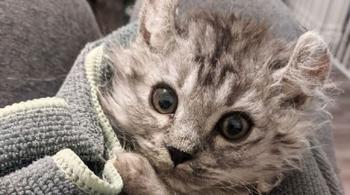 Женщине принесли бесхвостого котёнка, а спустя неделю появился ещё один