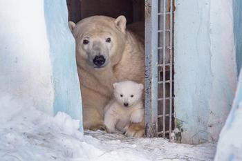 Белые медведи вышли из укрытия