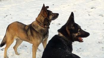 Собаки рванули к кустам, чтобы показать хозяйке щенка в яме