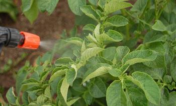 Качественная внекорневая подкормка картофеля по листу: чем и как удобрять