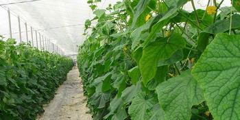Чем полить огурцы, чтобы быстрее росли