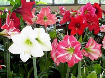 Лилия как горшечное растение: особенности ухода в домашних условиях