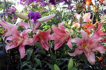 Для тех кто любит лилии: как посадить, ухаживать и выбрать сорт