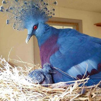 Венценосный голубь — потрясающе красивая птица