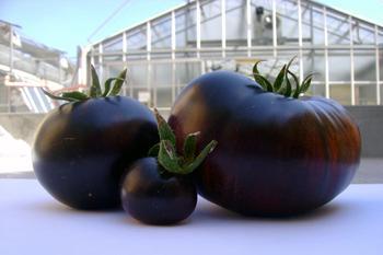 Выращивание томатов Черный принц в открытом и закрытом грунте