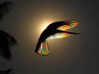 Крылатая призма: фотограф запечатлел колибри с радужными крыльями