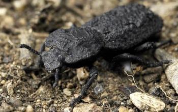 Секрет суперспособности жука, которого не может раздавить даже автомобиль