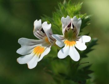 Лечебные свойства растения очанка