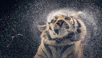 «Больше, чем человек»: шедевральные портреты диких животных в фотографиях Тима Флэча