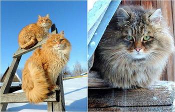 «Кошландия»: 25 фотографий о жизни большой семьи сибирских кошек