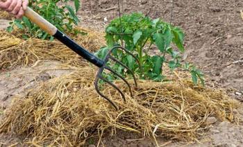 Мульчирование томатов в теплице: выбор материалов и технология