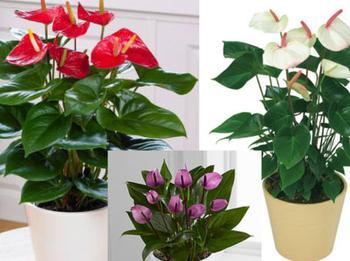 Выращивание антуриумов с пышным и долгим цветением