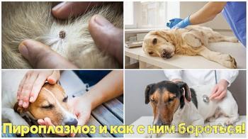 Пироплазмоз у собак - симптомы, признаки, лечение. Советы ветеринарного врача
