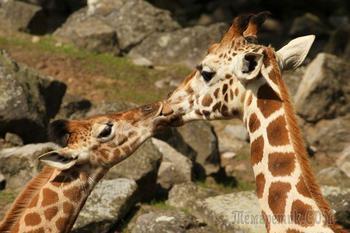 Поцелуи и нежные отношения у животных