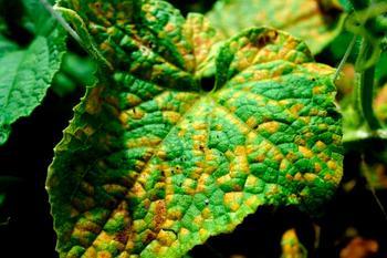 Почему на листьях огурцов появляются желтые пятна и как их лечить