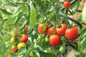 Фитофтороз томатов: фото, описание и лечение