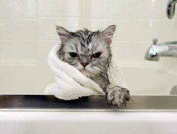 Эти кошки после купания явно не простят своим хозяевам