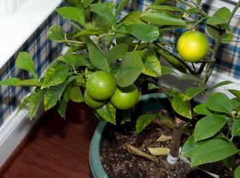 Удобрения для лимона