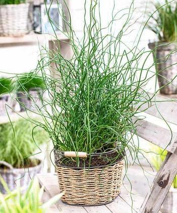 Уход в домашних условиях за растением Джункус – фото культуры