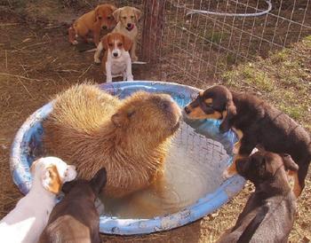 Почему все животные любят капибару