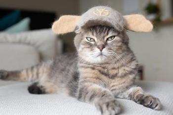 В Японии живут три кошки, у которых есть целая коллекция шляпок и шапок, сделанных из их собственной вычесанной шерсти