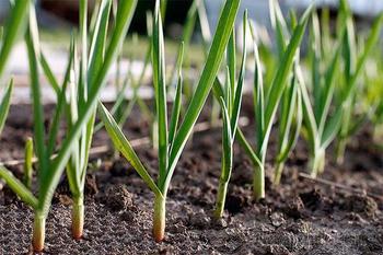 Особенности посадки чеснока в открытый грунт весной