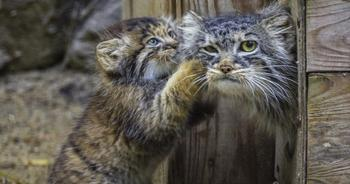 Удивительная история манулов из Новосибирска — хищников, которых выкормила домашняя кошка