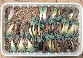 Листовой, черенковый и семенной способы размножения суккулентов