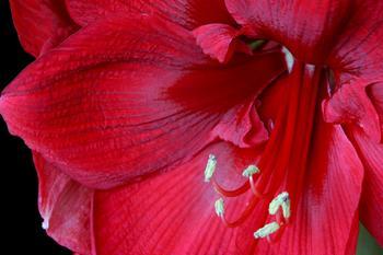 Гиппеаструм выращивание и уход в домашних условиях