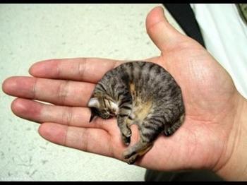 Самая маленькая кошка в мире - кто же она?