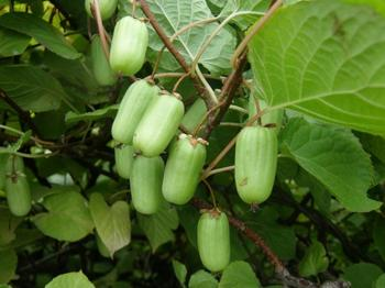 Актинидия — всё о выращивании чудо-ягоды