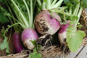Репа: выращивание, польза, лучшие сорта