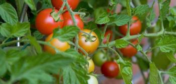 Фитофтора на помидорах — средства для результативной борьбы
