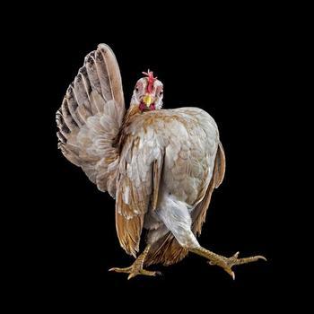 Серама: самая помпезная порода кур