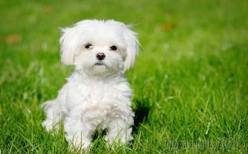 Самые маленькие собаки, их породы, названия с фото