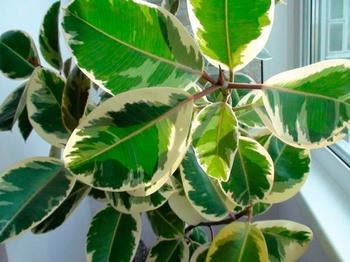 Тонкости ухода и правила размножения фикуса Тинеке в домашних условиях